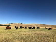 Cows On The Mountain