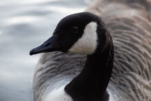 Close-up Of A Bird, Canadian Goose