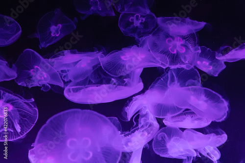 Fototapeta Close-up Of Jellyfish Swimming In Sea obraz
