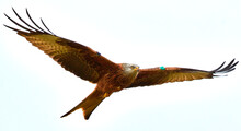 Low Angle View Of Red Kite Flying Against Clear Sky