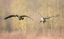"Canadian Goose In Flight During Spring Time. The Canada Goose ""Branta Canadensis"" Is A Large Wild Goose Species With A Black Head And Neck, White Cheeks And A Brown Body. It Is Native To The Arctic Re"