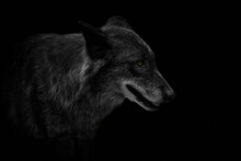 Close-up Of An Eastern Timber Wolf (Canis Lupus Lycaon) Isolated On Black.