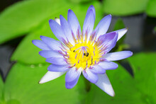 Purple Lotus With Yellow Pollen With Bee Inside.