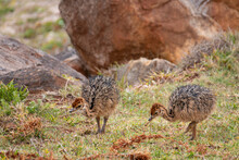 Two Ostrich Chicks Struthio Camelus