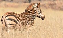 Zebra In Field Of Tall Winter Grass