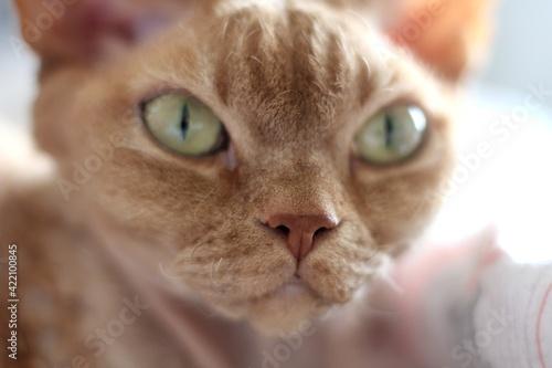 Tablou Canvas Close-up Portrait Of Ginger Devon Rex Cat