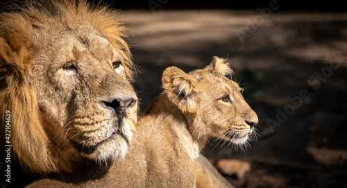 Fotografie, Obraz a male lion and his cub looking right