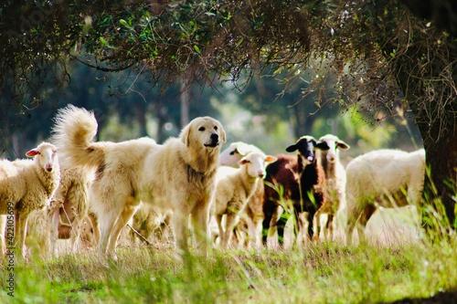 Sheep In A Field Fototapet