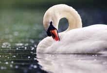 Closeup Shot Of A Beautiful White Swan Swimming In A Lake