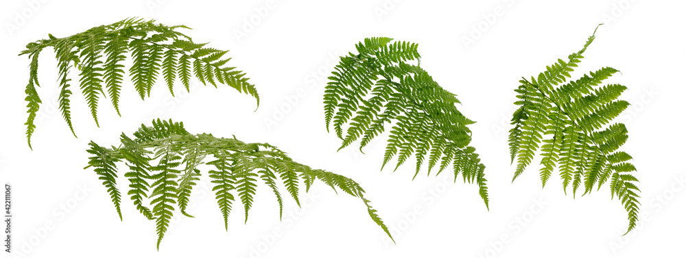 Fototapeta Few fern stems with leaves on white background