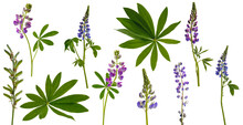 Many Stems Of Lupine Flowers And Leaves And Pods On White Background
