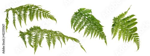 Fotografie, Obraz Few fern stems with leaves on white background