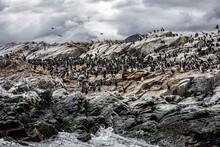 Cormorants At Rest