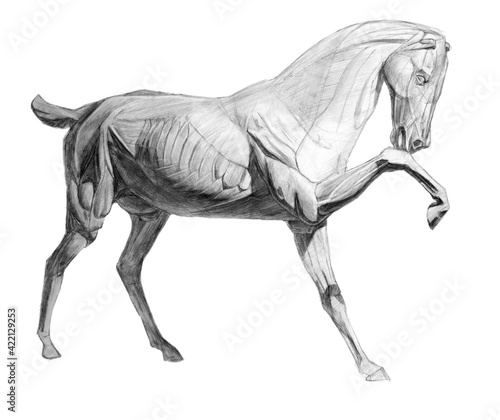 Fototapeta The whole horse's ecorshe. side view. academic pencil drawing. An old drawing. obraz