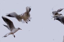 Quarrel In The Air Of Four Seagulls For Seniority