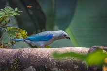 Selective Focus Of A Blue-grey Tanager Perched On A Tree Branch With A Blurry Background