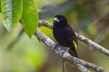 Closeup Of A Flame-rumped Tanager Perched On A Tree Branch In A Forest With A Blurry Background