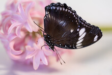 A Large Tropical Dark Butterfly Hypolimnas Bolina Of The Nymphalidae Family Sits On A Red Flower.