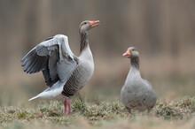Greylag Goose (Anser Anser) Close Up