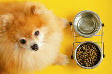 Dog Eating Dry Food And Water In Bowl, Looking At The Camera, Waiting Command, Orange Background. Animal And Diet. Pet Care And Feeding. Ginger Pomeranian Spitz Do Not Eat.