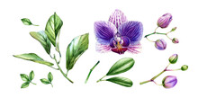 Watercolor Orchid Elements Collection. Big Purple Flowers, Buds, Palm, Monstera Leaves. Hand Painted Floral Tropical Set. Botanical Illustrations With Exotic Plants Isolated On White