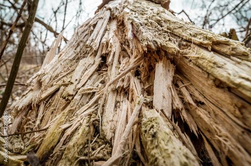 Obraz spróchniały pień drzewa - fototapety do salonu