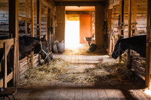 A Typical Day In A Wooden Stable On A Farm, Horses Eating Hay In Their Stalls.