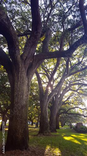 Photo Oak trees in Waterfront Park in Charleston