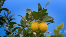 Harvest Ripe Juicy Lemons On A Tree In A Lemonaria Greenhouse. Ripening Fruit In The Garden Close Up View.