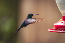Closeup Shot Of A Beautiful Tiny Hummingbird Flying To Drink Sugar Water From A Garden Feeder