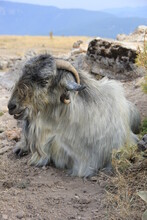 Sacrificial Goat Or Sheep. Old Goat Sitting On The Mountain. Muslim Feast Of Sacrifice.