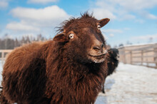 Funny Brown Pygmy Quessant Sheep In Winter. Farm Animals.