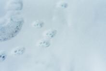 Cat Pawprints In Snow