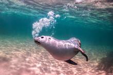 Australian Sea Lion Swimming In The Crystal Clear Water, Australia