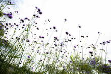 Purple Of Head Flower In Field At Sky.