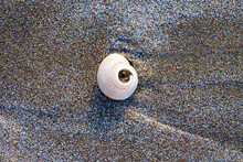 Jetsam And Flotsam, A White Shell Deposited By The Sea On A Sandy Beach.