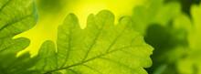 Banner Spring Oak Leaves On A Dark Background.