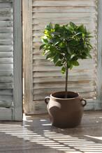 Ficus Benjamina Agaist Wooden Shutters