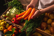 Organic Vegetables. Farmers Hands With Freshly Picked Carrots. Fresh Organic Carrots. Fruits And Vegetables Market