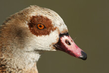 A Head Shot Of A Magnificent Egyptian Goose, Alopochen Aegyptiaca, .