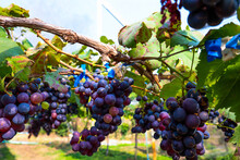 Fresh Blue Grapes Bunch At Harvest Time.