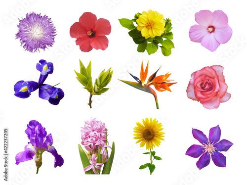 Fototapeta Macro photo of flowers set: iris, strelitzia, ipomoea, sunflower, hibiscus, hyacinth, green bushes, rose, common mallow, cirsium vulgare on white background. obraz