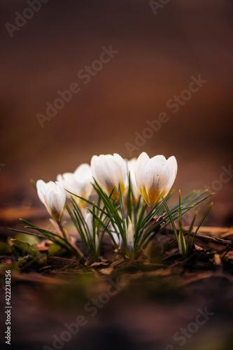 Obraz white crocus flower - fototapety do salonu