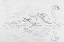 Pencil Drawing Of Three Swans On White Paper.