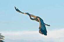 Great Blue Heron (Ardea Herodias) In Bolsa Chica Ecological Reserve, California, USA