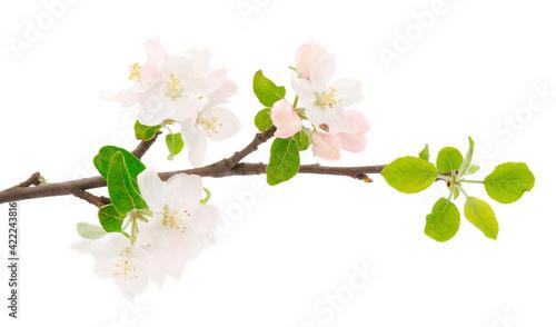 Fotografie, Obraz Flowering branch of apples.