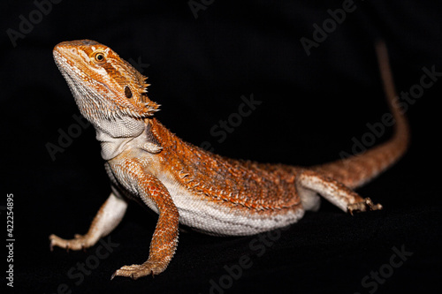 Fotografija Side on of a bearded dragon on a black background