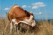 canvas print picture - cow, farm, animal, cattle, grass, field, meadow, agriculture, pasture, brown, nature, sky, milk, rural, green, beef, livestock, white, bull, bovine, mammal, blue, calf, landscape, farming