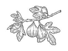 Common Fig Tree Sketch Raster Illustration