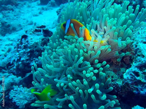 Canvas clown fish and sea anemone